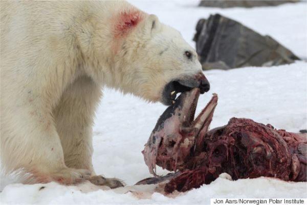 PHOTO CREDIT: Jon Aars/ Norweigan Polar Institute via Huffington Post